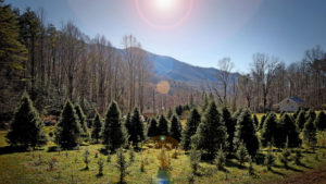 Cover photo for NC State Helps Homegrown Christmas Tree Farm