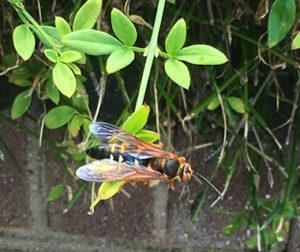 Cicada killer wasp on foliage