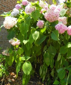 wilted leaves of hydrangea