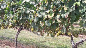 Vinifera Grapes. Surry Co.
