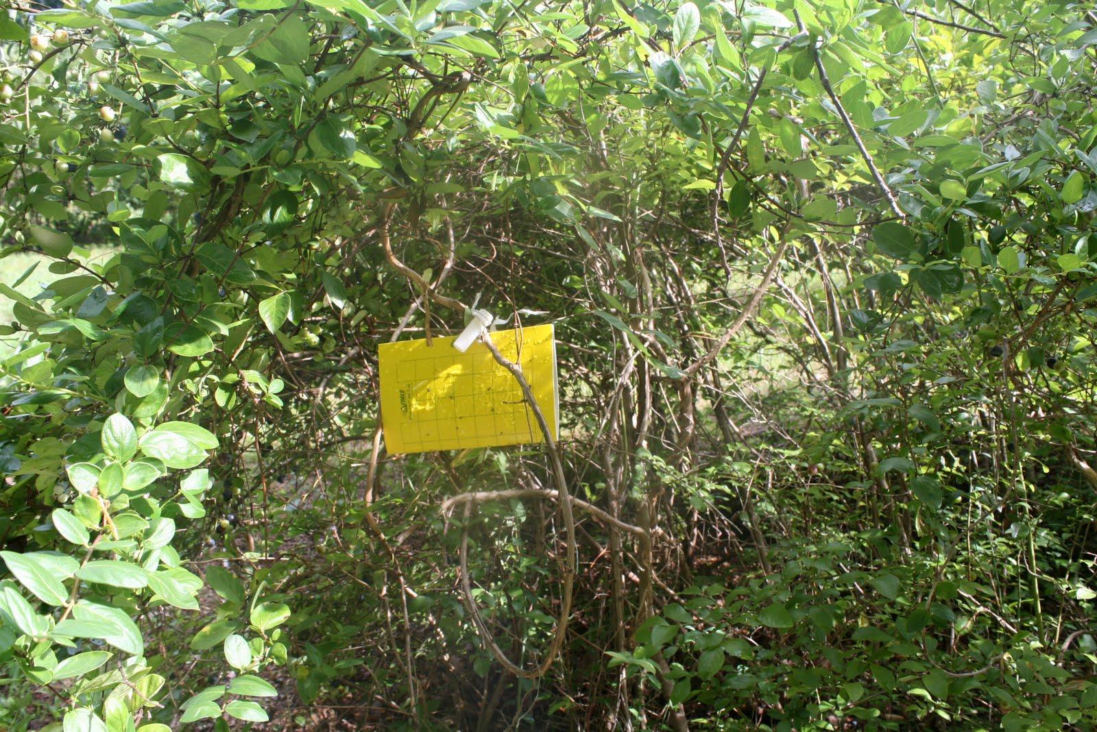 blueberry maggot trap