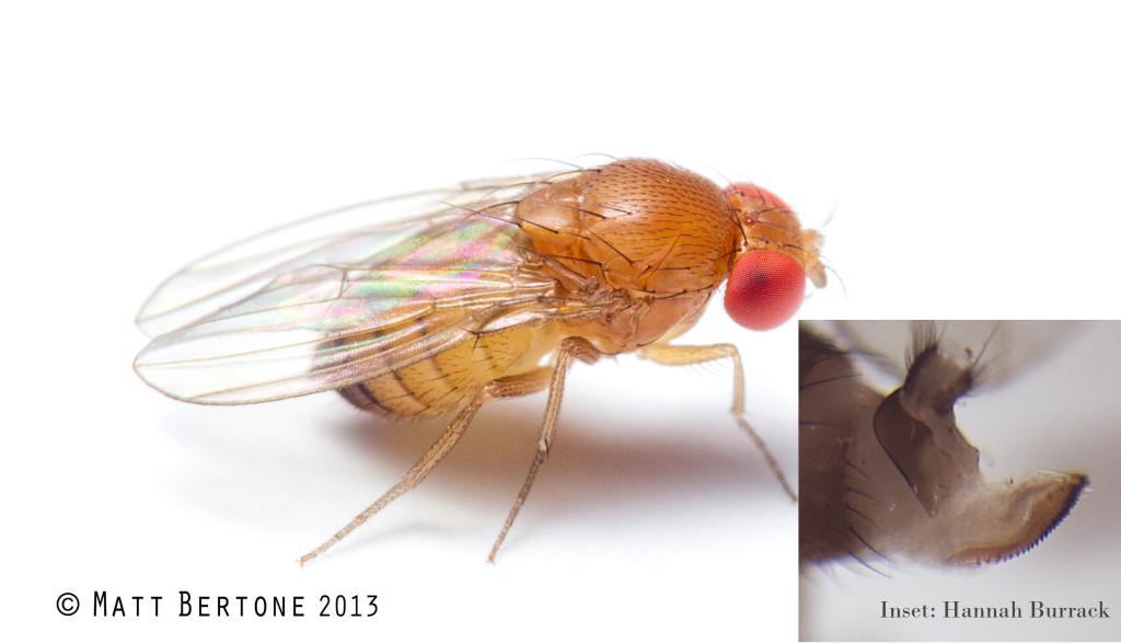 spotted wing drosophila female