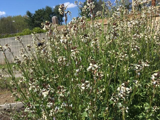 Arugula flowering
