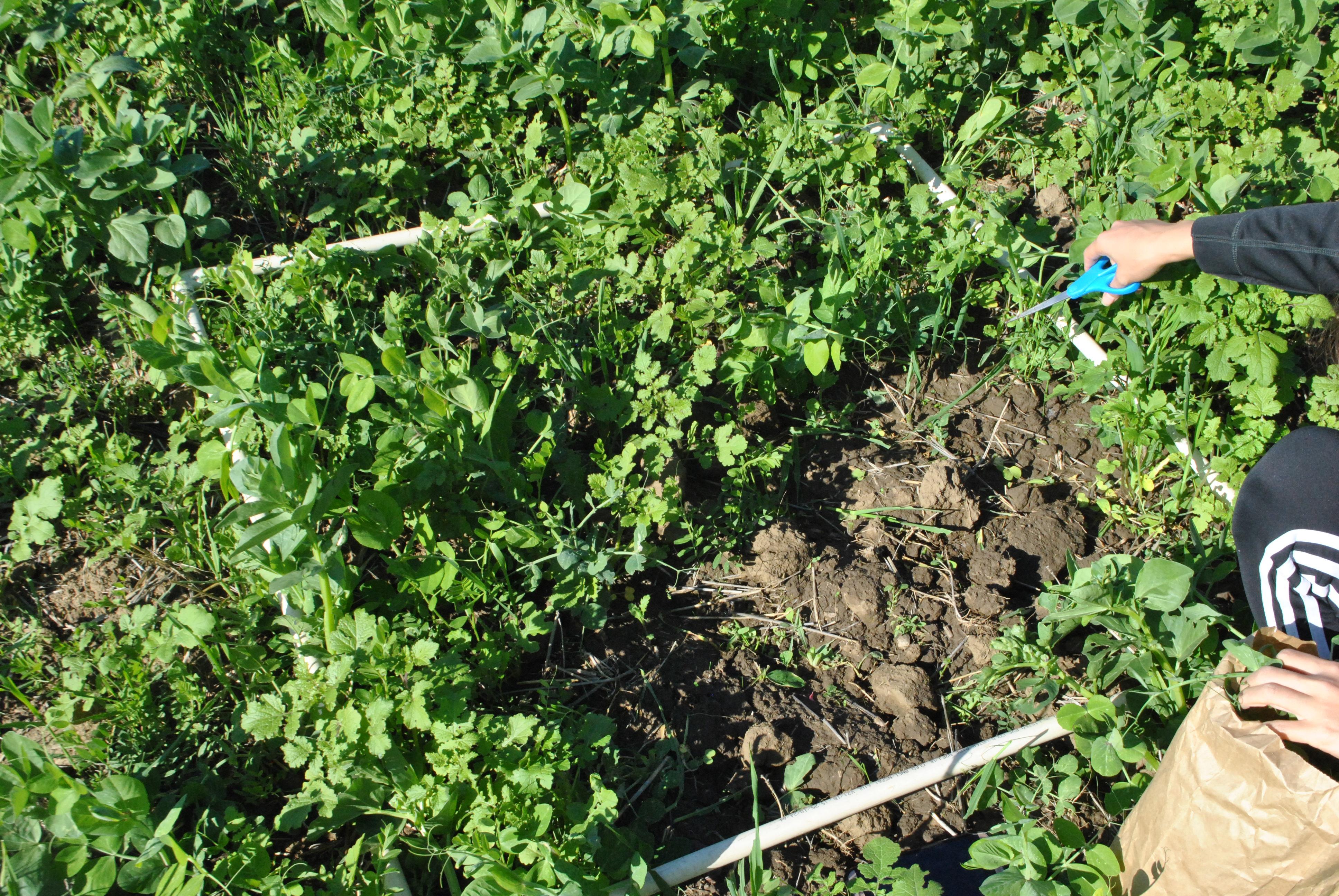 Winter pea-radish cover crop