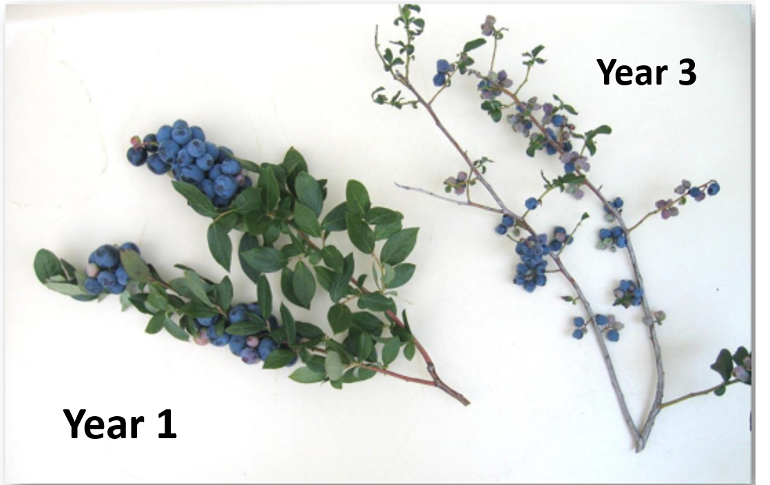 Fruit produced on 1 year compared t 3-year-old growth